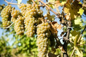 Viognier Grape