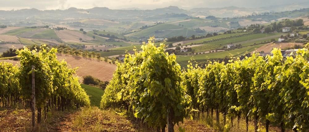 ripe grapevines